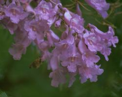 Jacaranda Flower