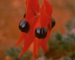 Sturt Desert Pea Flower