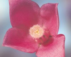 Sydney Rose
